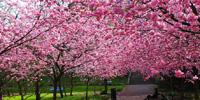 Festas das CerejeirasParque do Carmo