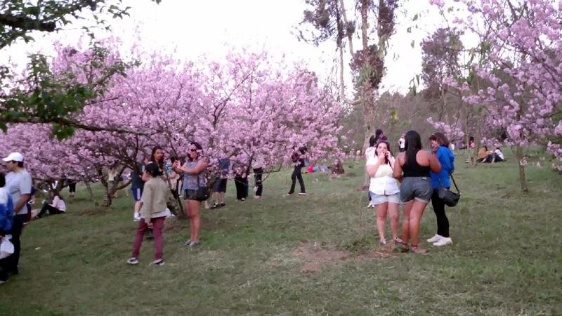 Parque do Carmo Cerejeiras