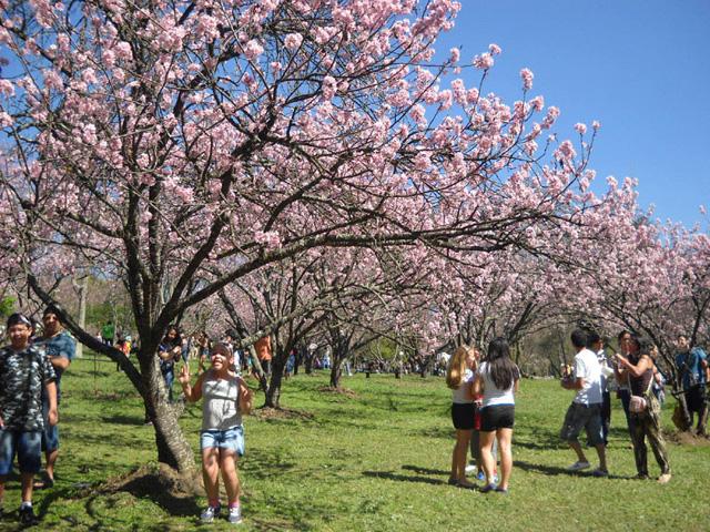 Festa das Cerejeiras Parque do Carmo